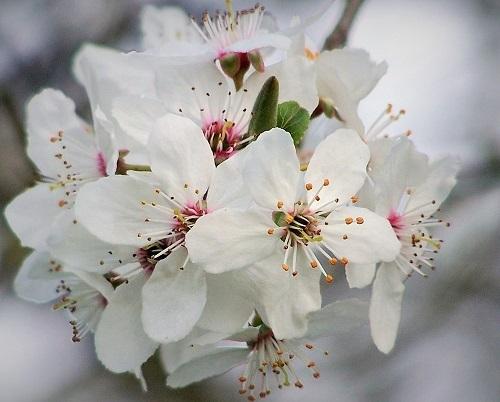 cherry plum_Blogs