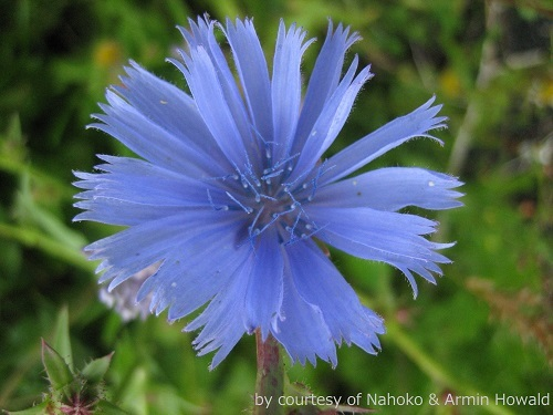 Chicory (1)_credit_blogs