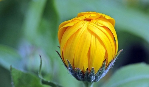 marigold-1503876_640.jpg