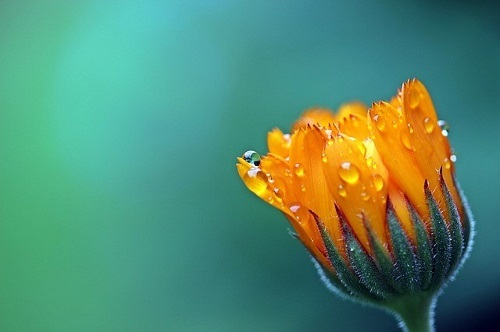 marigold-1568646_640.jpg