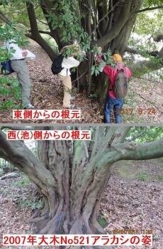 47 アラカシ根元拡大 P9241675(47)-1