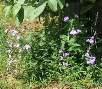 菜園の自生の花