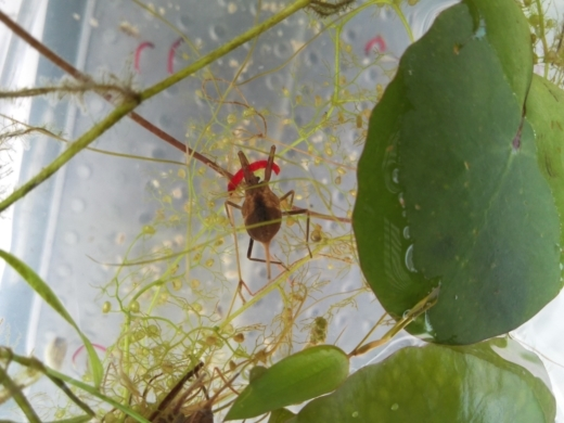 水生昆虫の餌 (3)
