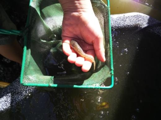 ナマズ稚魚 (2)