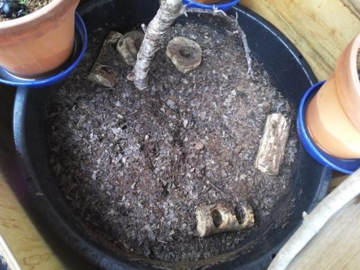 カブトムシ幼虫 (16)