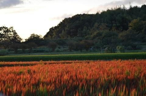 DSC_2003赤米