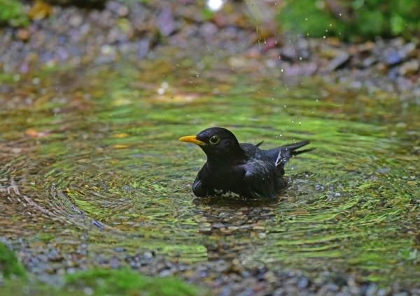 クロツグミ1水浴び DSC_0272