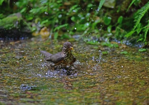 クロツグミ4雌水浴び DSC_028