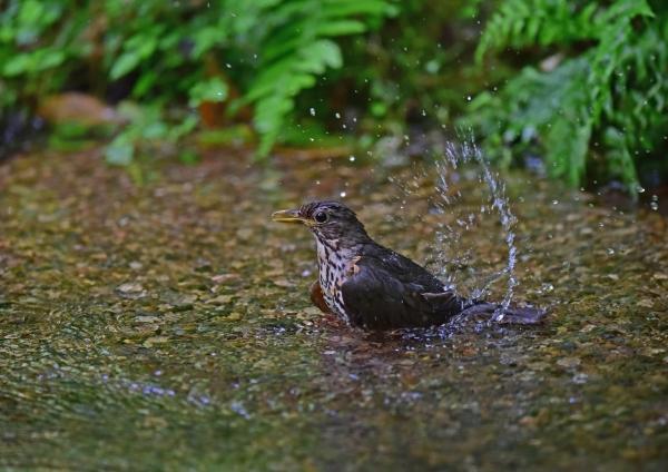 クロツグミ5雌水浴び DSC_000