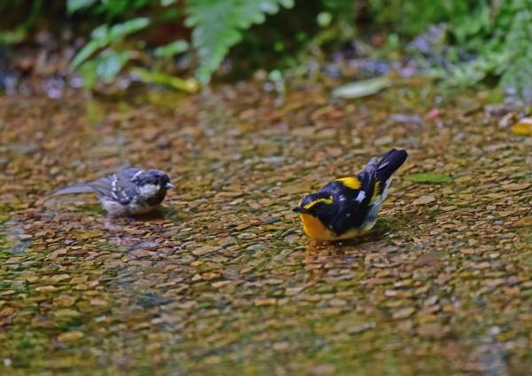 キビタキ2とヒガラ幼鳥。 DSC