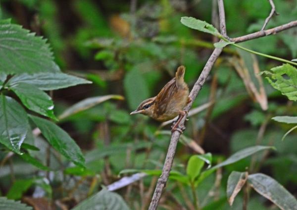 ヤブサメ4幼鳥 DSC_0133