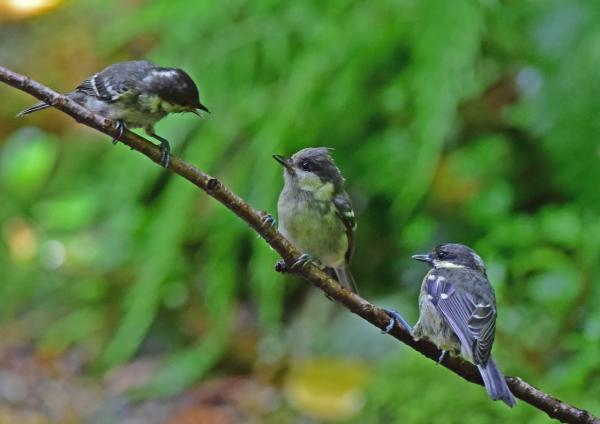 ヒガラ3幼鳥 DSC_0029