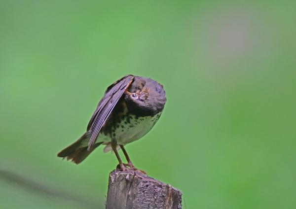 クロツグミ9雌羽繕い DSC_033