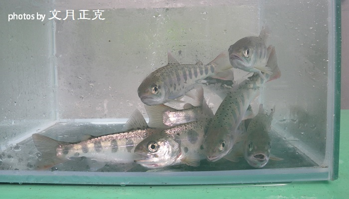 梅野川-2018-0915-2019年成魚用稚魚