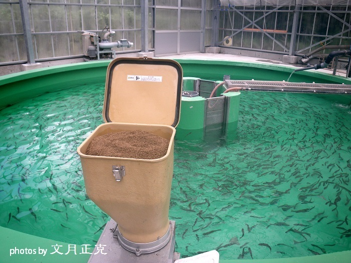 梅野川-2018-0915-2019年成魚用稚魚選別作業-移し替え完了