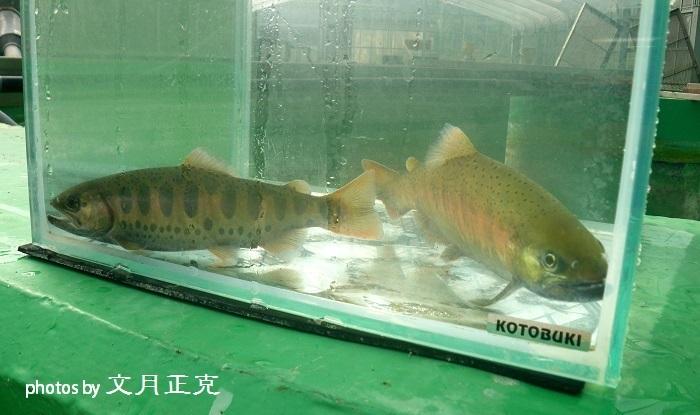 梅野川-2018-1017-2019年成魚用稚魚育成状況-01