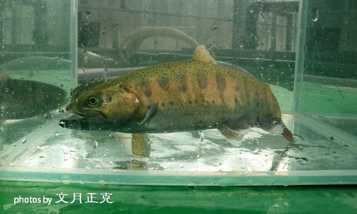 梅野川-2018-1017-2019年成魚用稚魚育成状況-02