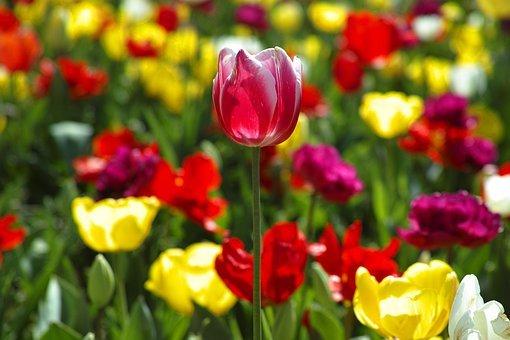 tulips-2314302__340.jpg