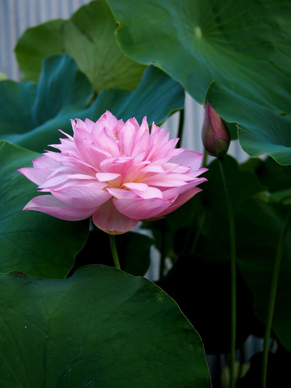 20170722-Lotus_Hishinkou-O01.jpg