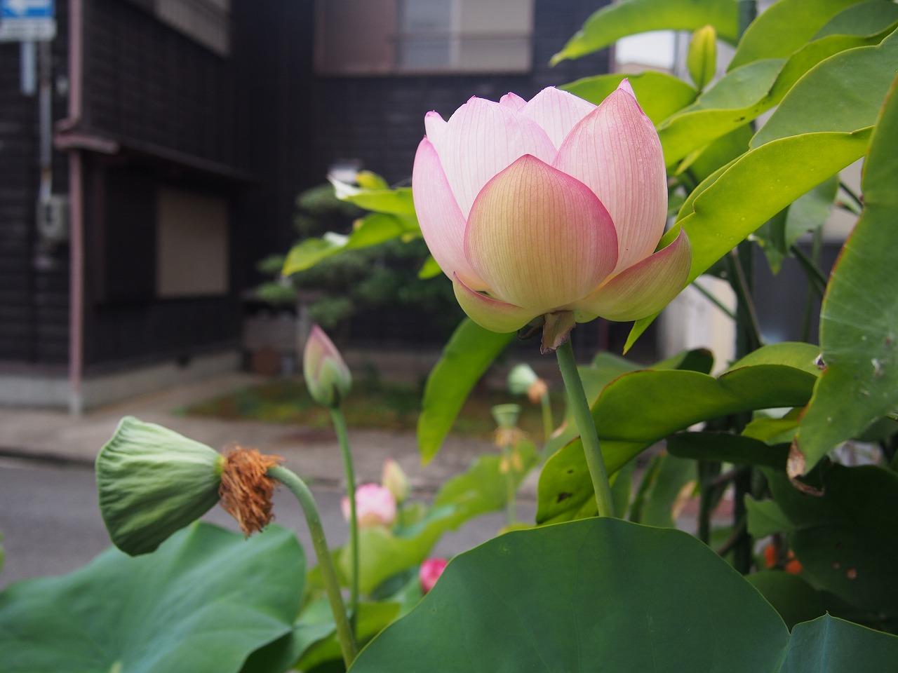 20170723-Lotus_TsumabeniChawanbasu-O01.jpg