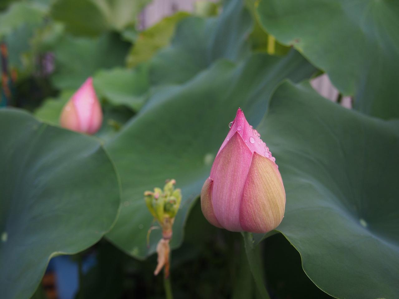 20170726-Lotus_Hishinkou-O01.jpg