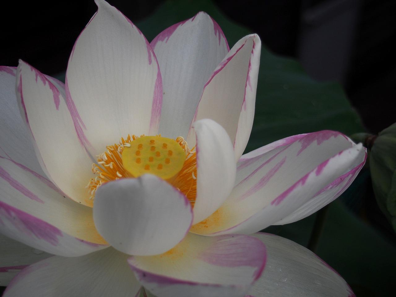 20170726-Lotus_Ittenshikai-O02.jpg