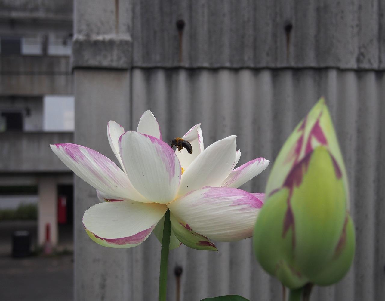 20170728-Lotus_Ittenshikai-O01.jpg