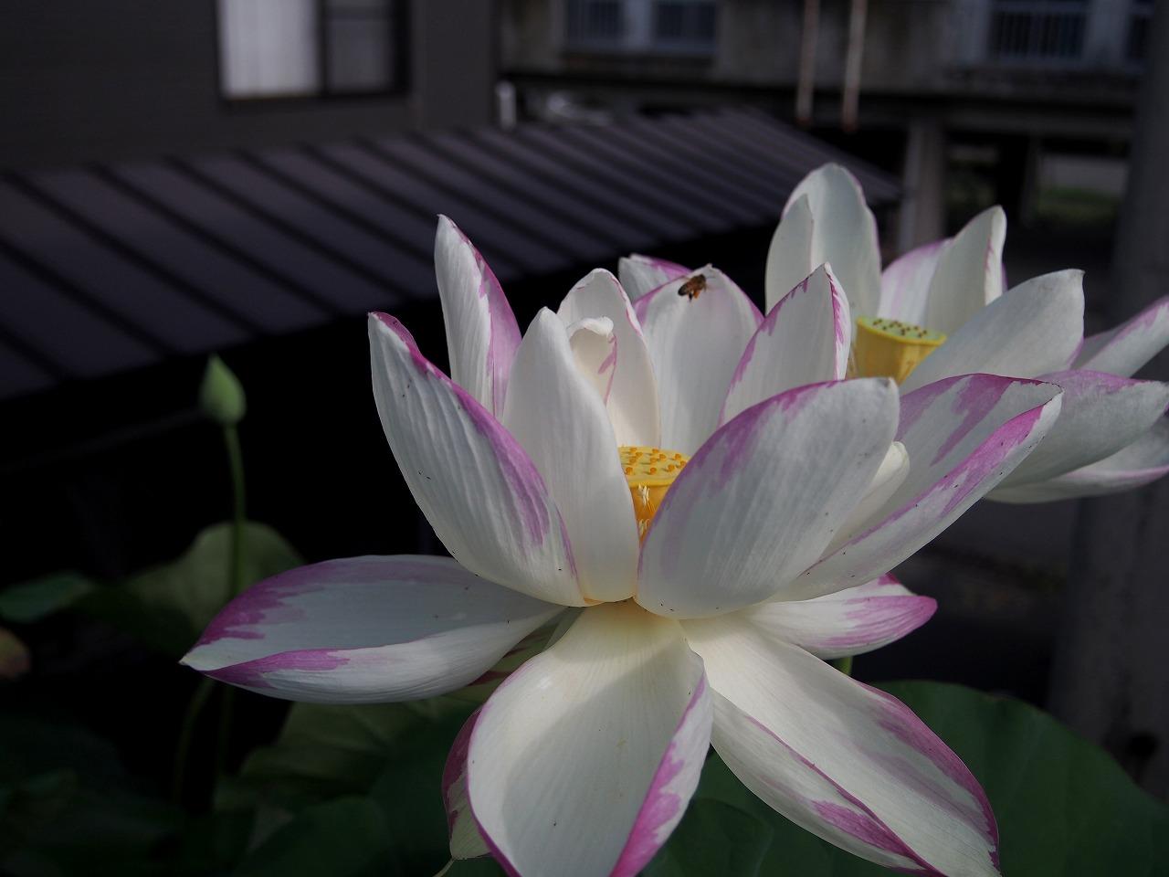 20170730-Lotus_TenjikuMadarabasu-O01.jpg