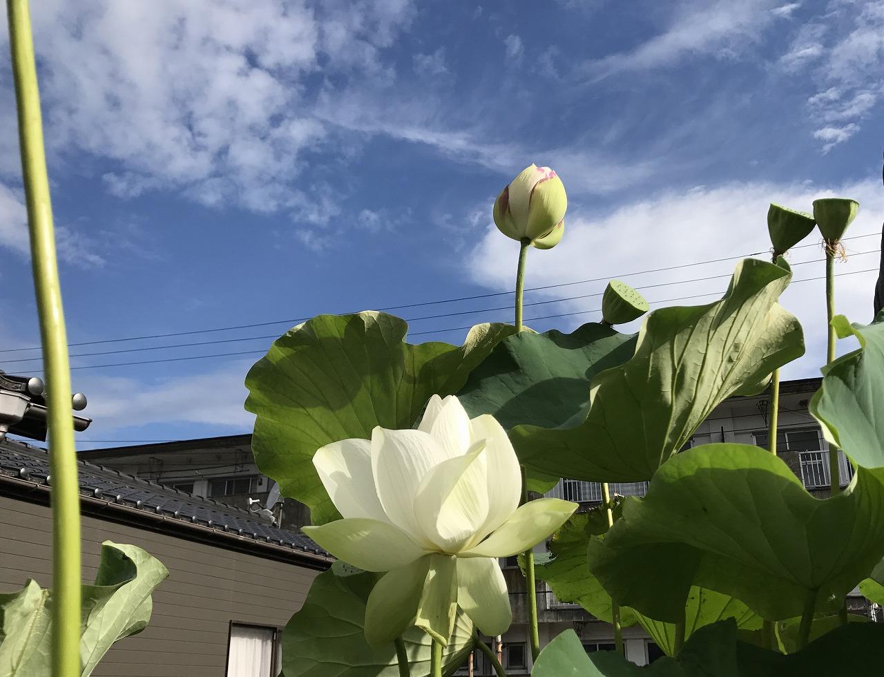 20170808-Lotus_Kougyokuhai-I01.jpg