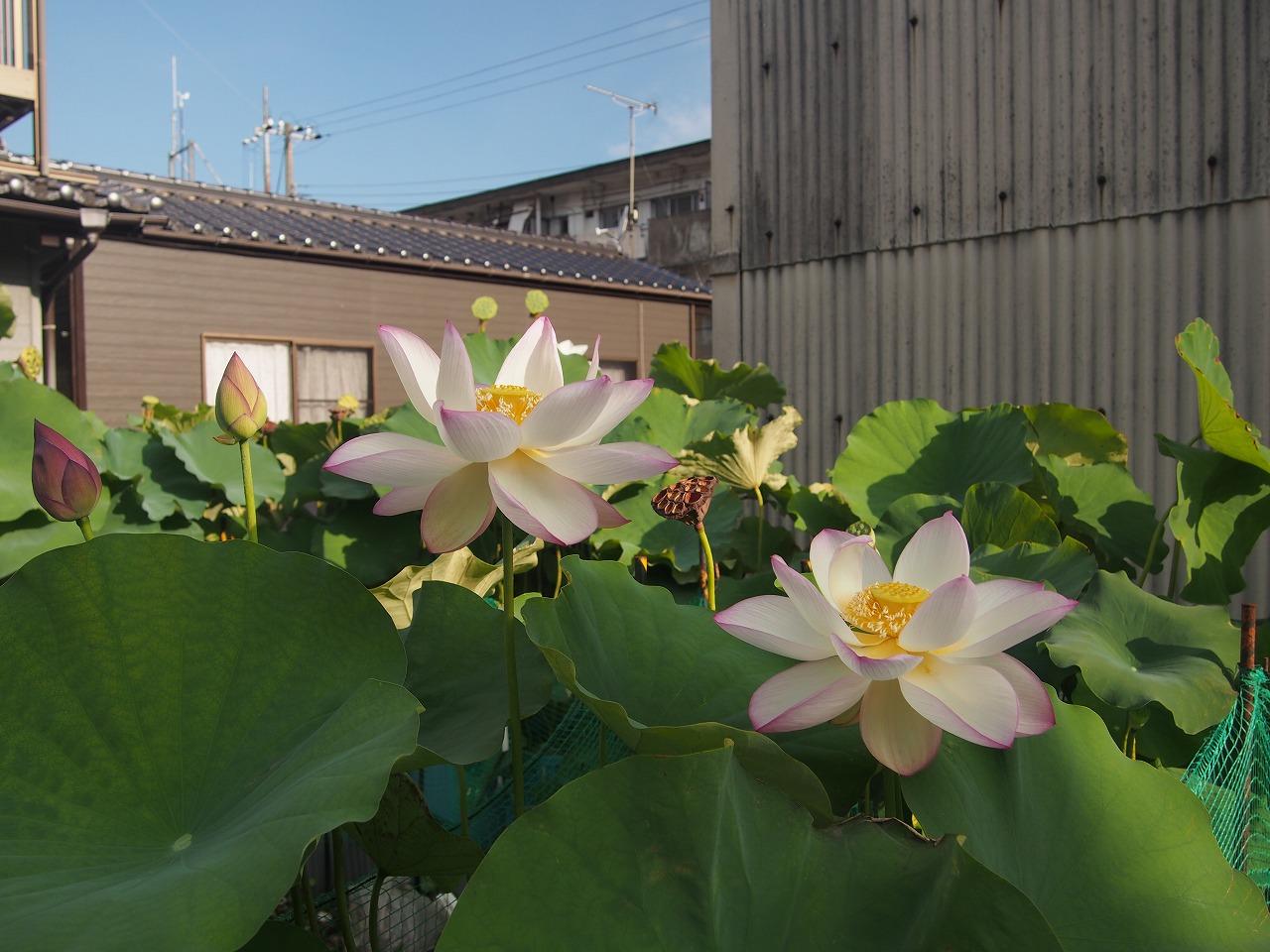 20170809-Lotus_TsumabeniChawanbasu-O01.jpg