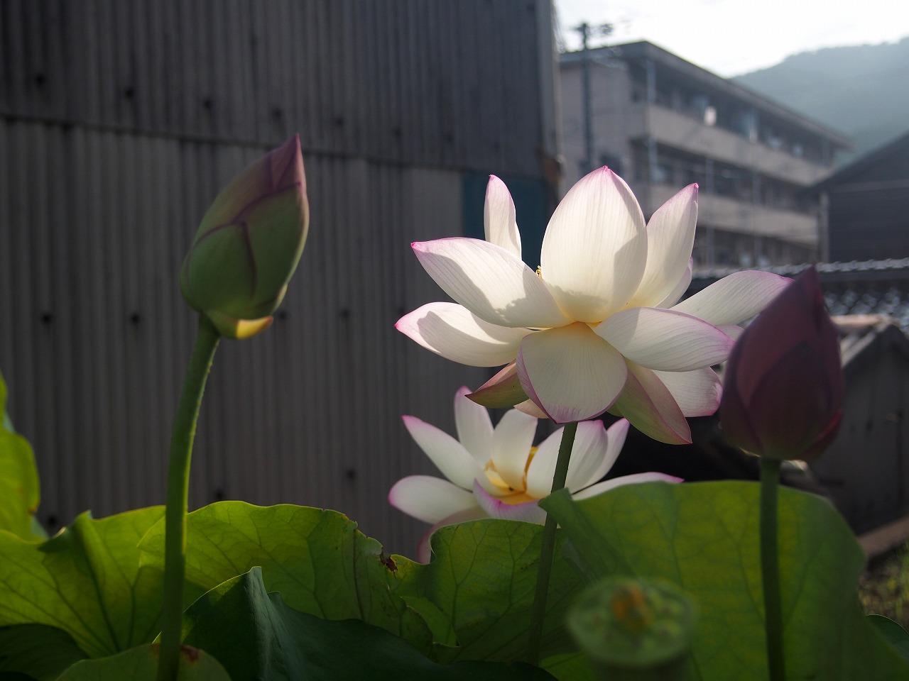 20170809-Lotus_TsumabeniChawanbasu-O02.jpg