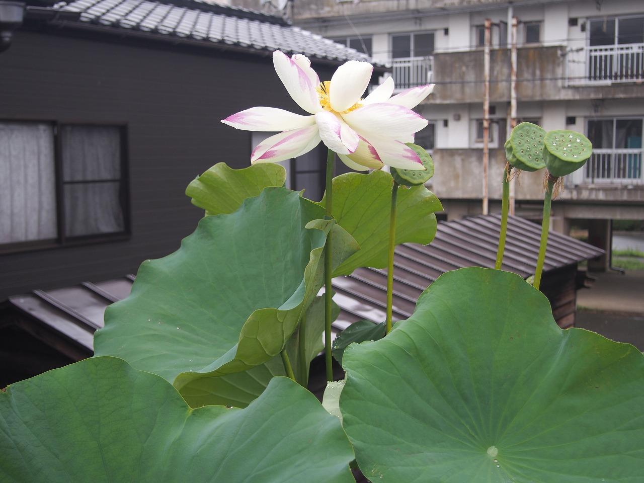 20170810-Lotus_TenjikuMadarabasu-O01.jpg