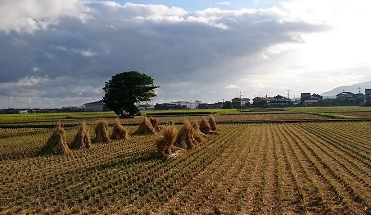 稲刈りの後2