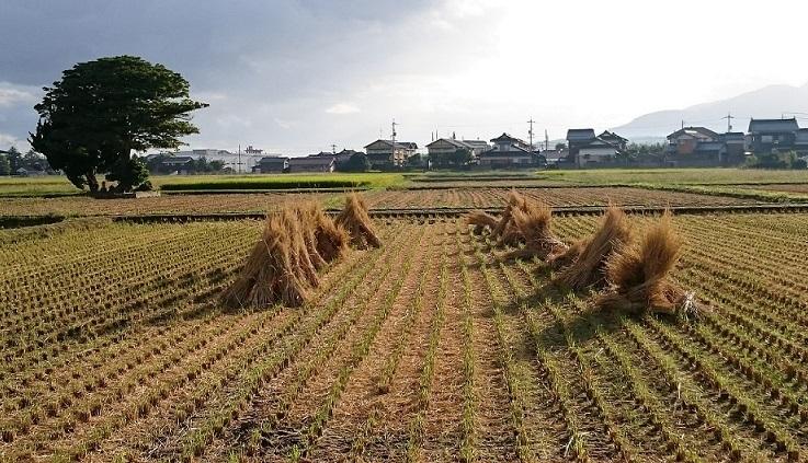 稲刈りの後1