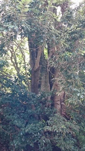 お寺の巨木