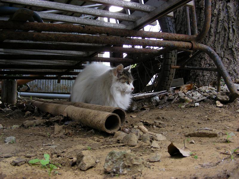 使われていないリヤカーと毛長の猫1