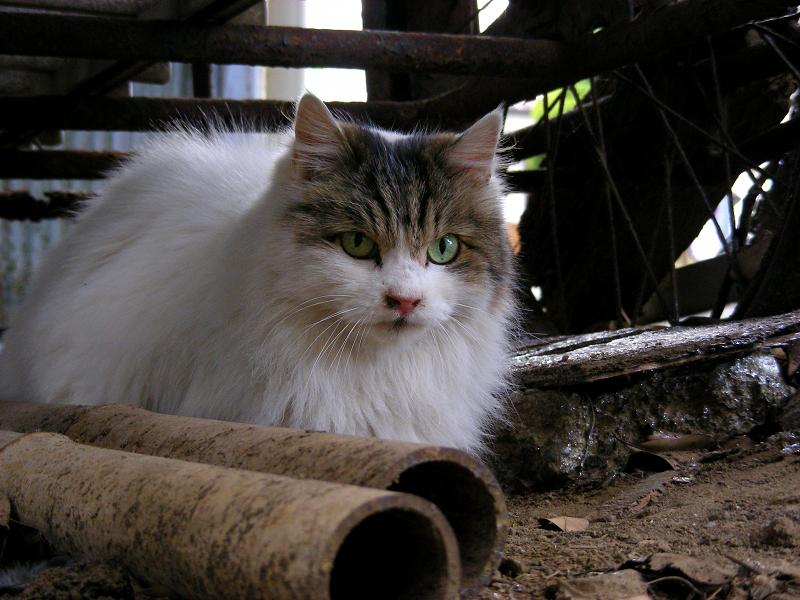 使われていないリヤカーと毛長の猫2