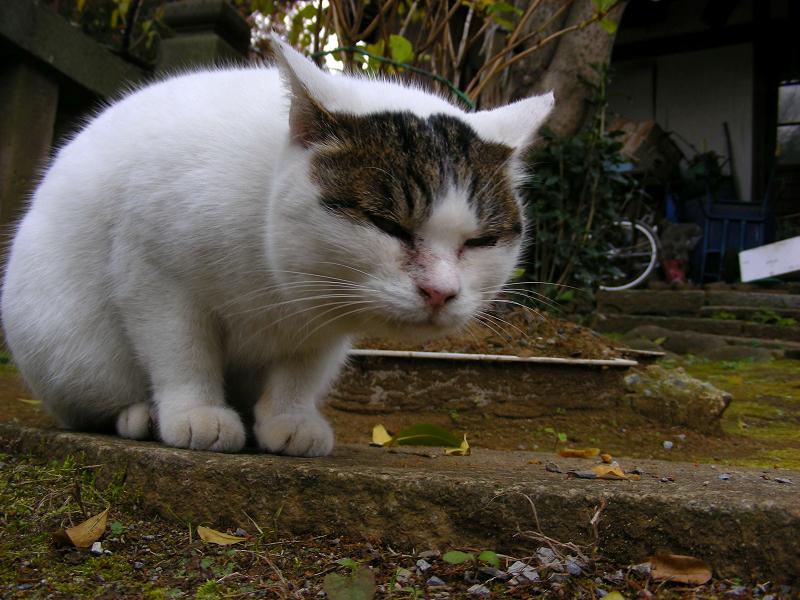 前髪柄がユニークな白キジ猫2