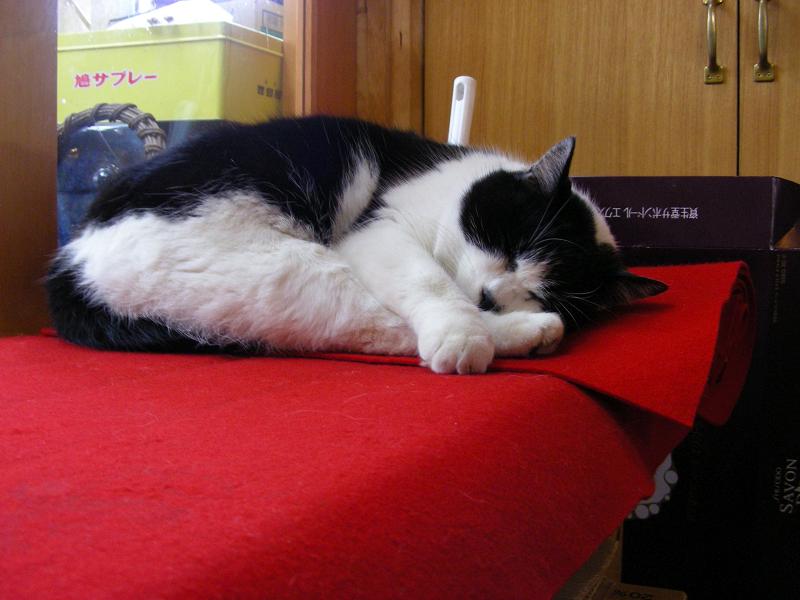 店内の緋毛氈の上で寝てる白黒猫1