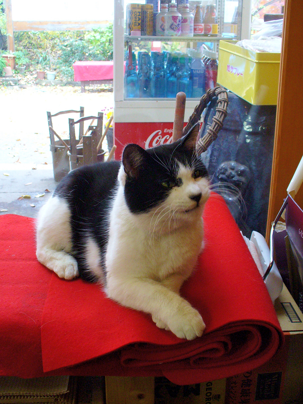 店内の緋毛氈の上で寝てる白黒猫2