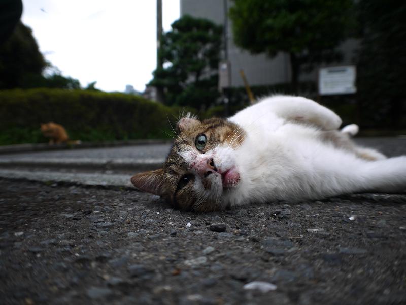 転がりカメラ目線のキジ白猫2