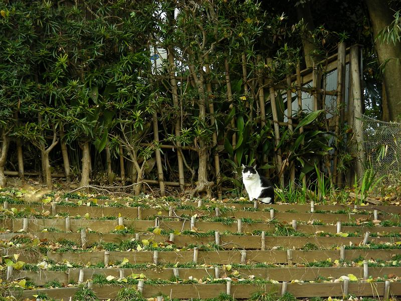 土段スロープの黒白猫1