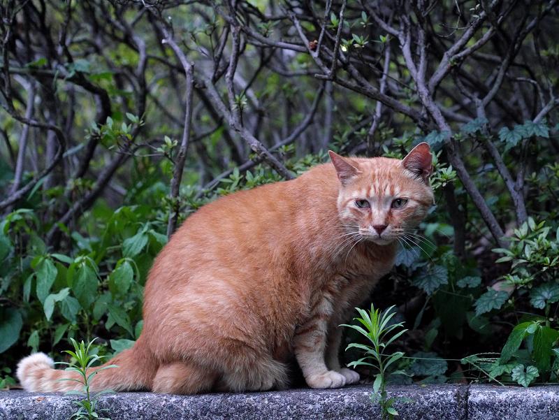 植込み前の情けない表情の茶トラ猫1