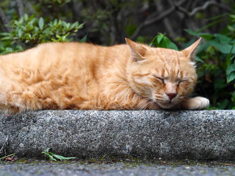 植込み前の情けない表情の茶トラ猫2