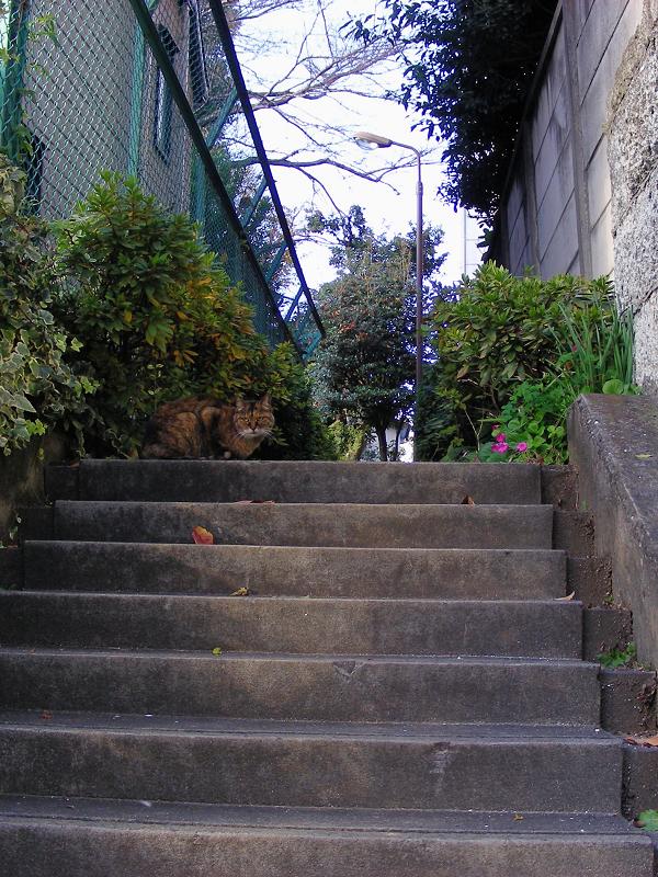 階段最上段のサビ猫