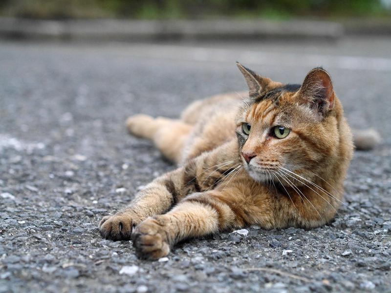 境内アスファルトで体を伸ばしてるサビ柄猫1