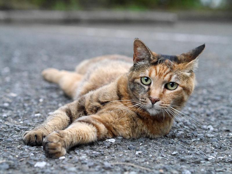 境内アスファルトで体を伸ばしてるサビ柄猫2