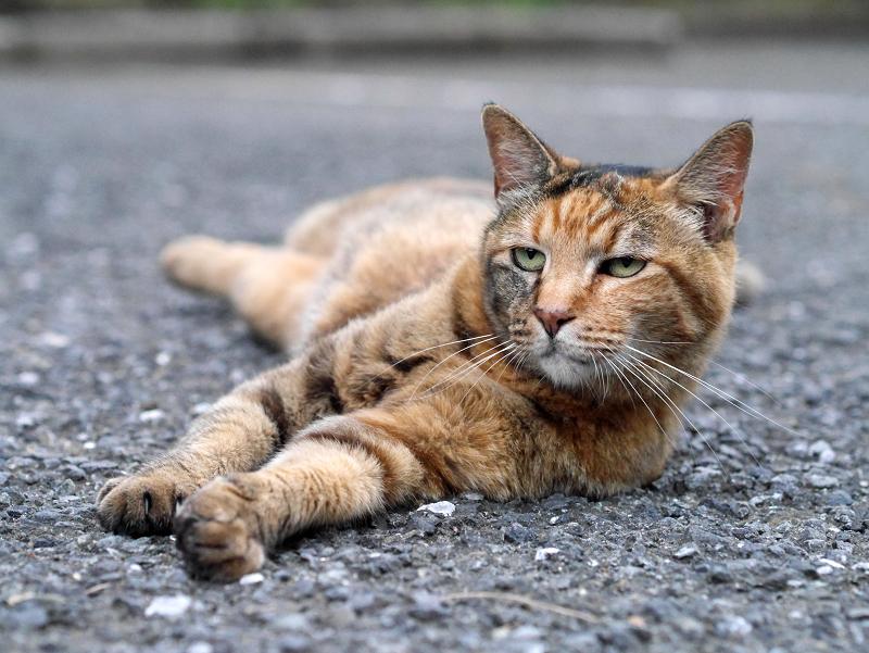 境内アスファルトで体を伸ばしてるサビ柄猫3