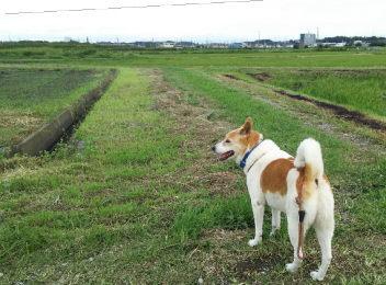 草が刈られて歩きやすくなった田んぼ、ゴンタもうれしそう