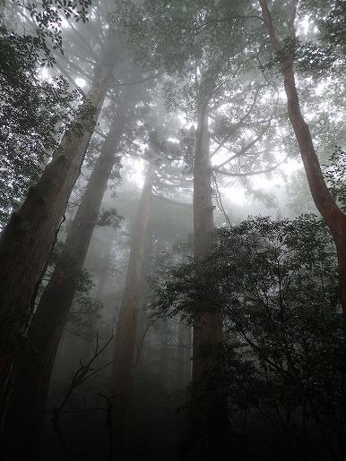 杉の森、霧